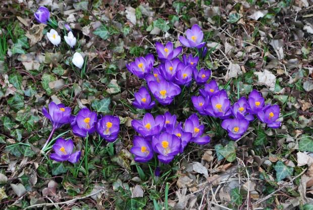 purple-crocus.jpg