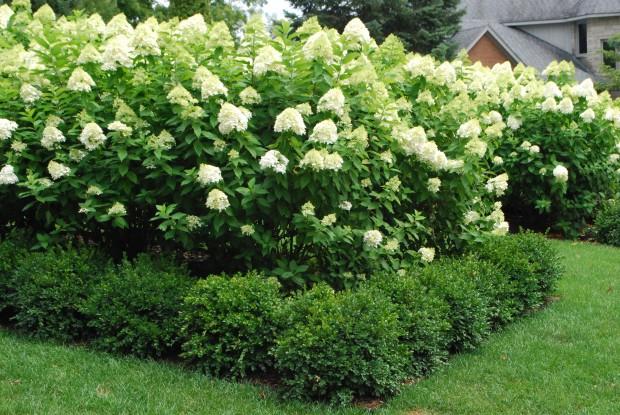 white flowering hydrangeas
