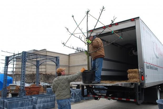 unloading-the-espaliers.jpg