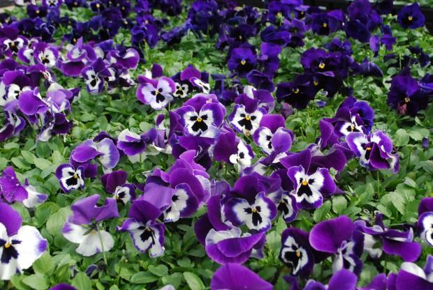 purple-pansies.jpg