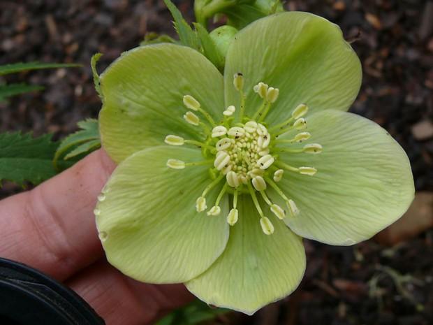 green-hellebore-flower.jpg