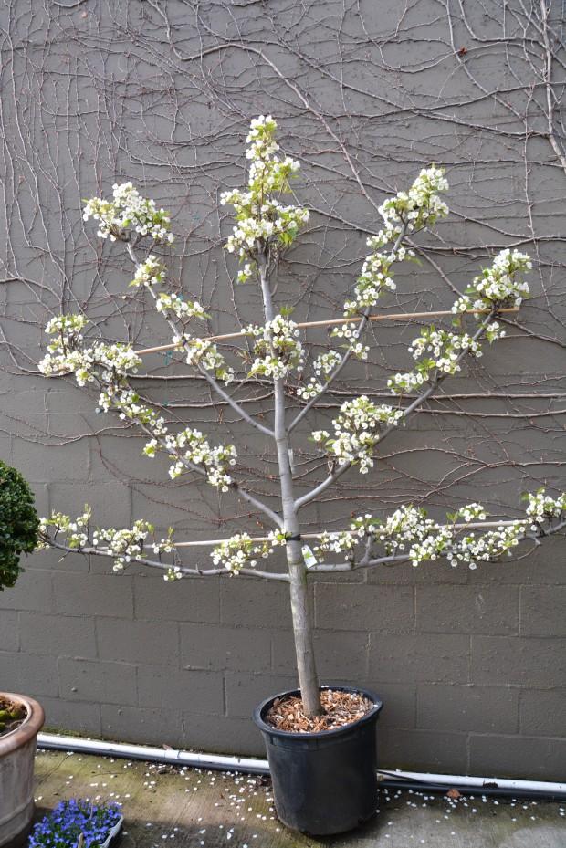 fan-pear-espalier-in-bloom.jpg