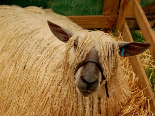 Dreadlocked_sheep