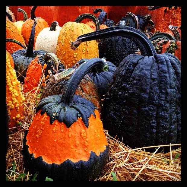 hybrid pumpkins